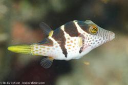 BD-111129-Raja-Ampat-5559-Canthigaster-valentini-(Bleeker.-1853)-[Valentin´s-sharpnose-puffer].jpg